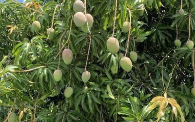 Field Research Journal Entry 30: Circle of the Mango