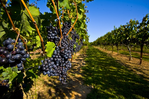 To Find A Vineyard